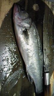 魚の行方(セイゴ)